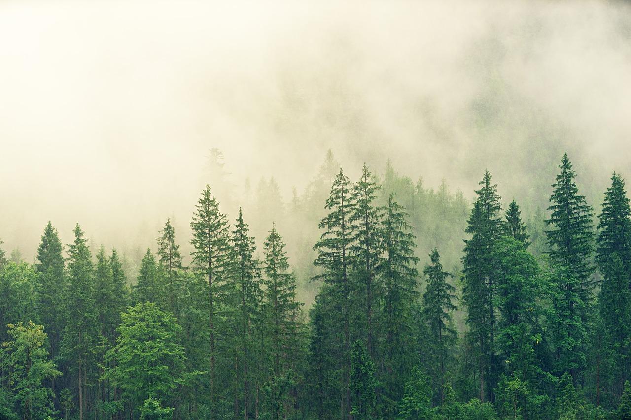 foresta-conifere