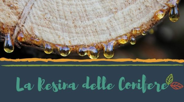 resina-conifere